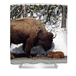 Bison Calf After Birth Shower Curtain