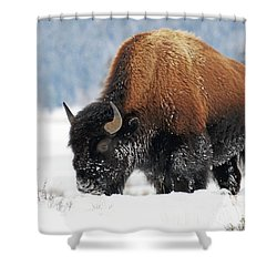 Bison Roaming In The Lamar Valley Shower Curtain