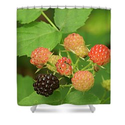 Black Berries Shower Curtain by Michael Peychich