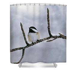 Black-capped Chickadee, Alberta Shower Curtain by Darwin Wiggett