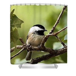 Black Capped Chickadee On Branch Shower Curtain