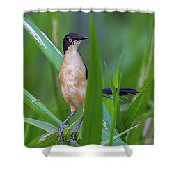 Black-capped Donacobius Shower Curtain