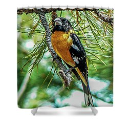Black-headed Grosbeak On Pine Tree Shower Curtain