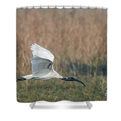 Black-headed Ibis 01 Shower Curtain