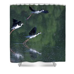 Black-necked Stilts 4302-080917-2cr Shower Curtain