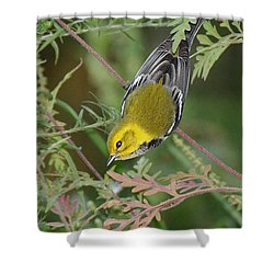 Black-throated Green Intent Shower Curtain