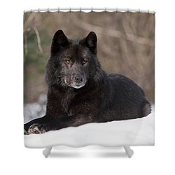 Black Wolf Shower Curtain by John Hyde - Printscapes