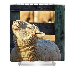 Bleating Sheep Shower Curtain
