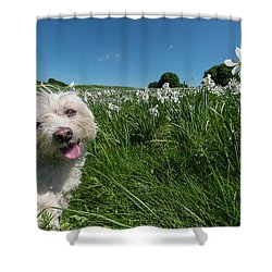 Blooming Daffodils In The Antola Park With Maltese II Shower Curtain