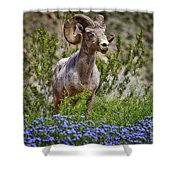 Blooms And Bighorn In Anza Borrego Desert State Park  Shower Curtain by Sam Antonio Photography