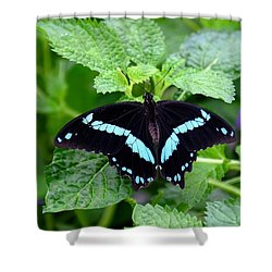 Blue Banded Swallowtail Butterfly Shower Curtain