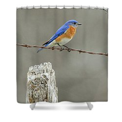 Blue Bird On Barbed Wire Shower Curtain by Robert Frederick