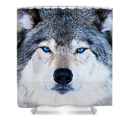 Shower Curtain featuring the photograph Blue Eyed Wolf Portrait by Mircea Costina Photography