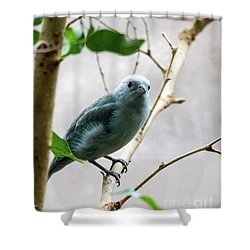 Blue-grey Tanager 2 Shower Curtain