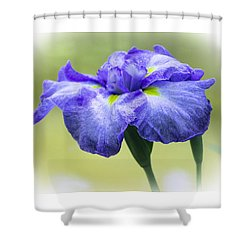 Blue Iris Shower Curtain by Venetia Featherstone-Witty