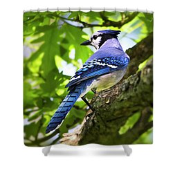 Blue Jay Shower Curtain by Christina Rollo