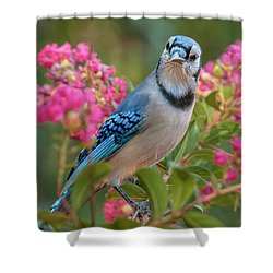 Blue Jay In Crepe Myrtle Shower Curtain