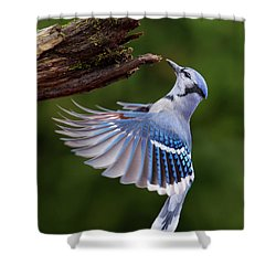 Shower Curtain featuring the photograph Blue Jay In Flight by Mircea Costina Photography