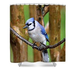 Blue Jay On A Branch Shower Curtain
