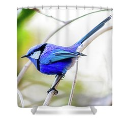 Blue Wren, Margaret River Shower Curtain by Dave Catley