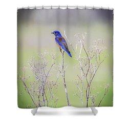 Shower Curtain featuring the photograph Bluebird On Hemlock by Mitch Shindelbower