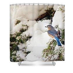 Shower Curtain featuring the photograph Bluebird On Snow-laden Cedar by Robert Frederick