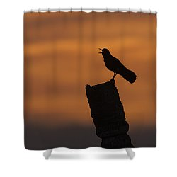 Boat-tailed Grackle At Sunset Shower Curtain