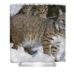 Bobcat Lynx Rufus In The Snow Shower Curtain by Matthias Breiter