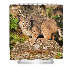 Bobcat On Rock With Tongue Out Shower Curtain