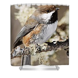 Boreal Chickadee Shower Curtain by Larry Ricker