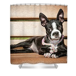 Boston Terrier Puppy Relaxing Shower Curtain by Stephanie Hayes