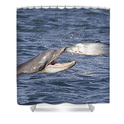 Bottlenose Dolphin Eating Salmon - Scotland  #36 Shower Curtain