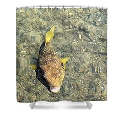 Box Fish - 1 Shower Curtain by Karen Nicholson