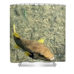 Box Fish - 3 Shower Curtain by Karen Nicholson