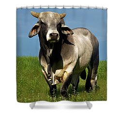 Shower Curtain featuring the photograph Brahman Boss by Jan Amiss Photography