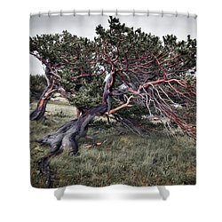 Bristlecone Pine Shower Curtain
