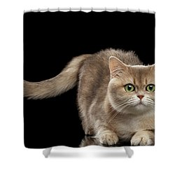 Brittish Cat With Curve Tail On Black Shower Curtain