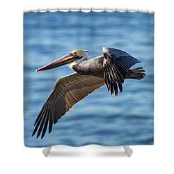 Brown Pelican In Flight Shower Curtain
