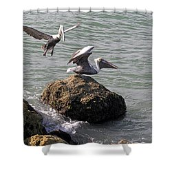 Brown Pelicans In Florida  Shower Curtain by Allan  Hughes