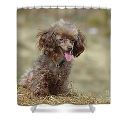 Brown Toy Poodle On Bail Of Hay Shower Curtain
