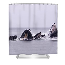Bubble Feeding Humpbacks Shower Curtain by Darcy Michaelchuk