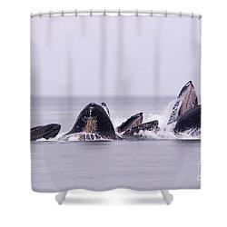 Bubble Feeding Humpbacks Shower Curtain by Darcy Michaelchuk