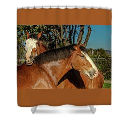 Shower Curtain featuring the photograph Budweiser Clydesdales  by Bill Gallagher