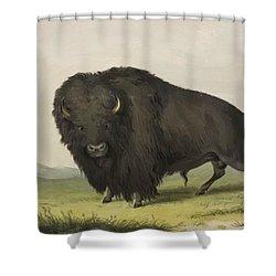Buffalo Bull Grazing 1845 Shower Curtain