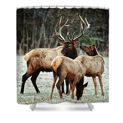 Shower Curtain featuring the photograph Bull Elk With Cows In The Late Rut by Michael Dougherty