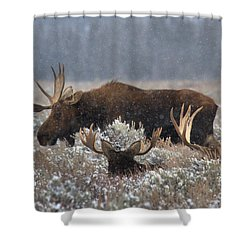 Shower Curtain featuring the photograph Bull Moose In The Snowy Meadow by Adam Jewell