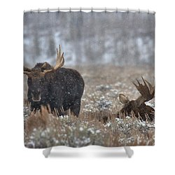 Shower Curtain featuring the photograph Bull Moose Winter Wandering by Adam Jewell
