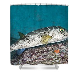 Bullseye Puffer - Galapagos Shower Curtain by Dave Fleetham - Printscapes