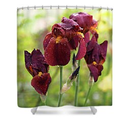 Burgundy Bearded Irises In The Rain Shower Curtain