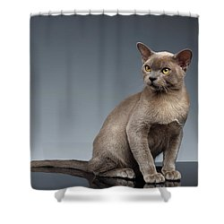 Burma Cat Sits And Loocking Up On Gray Shower Curtain